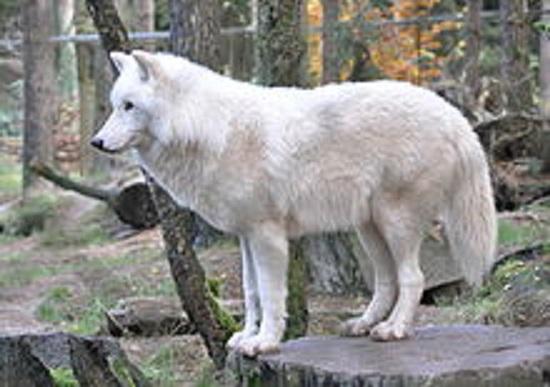 220px-Canis_lupus_arctos_qtl1